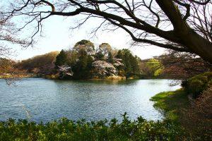 三ッ池公園対岸桜